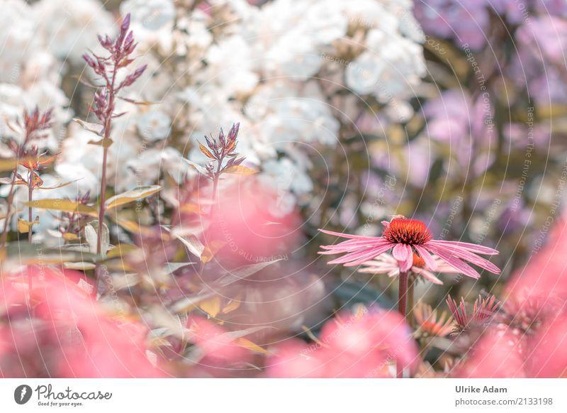 Purpur-Sonnenhut (Echinacea purpurea) elegant Stil Design einrichten Dekoration & Verzierung Tapete Bild Postkarte Erntedankfest Natur Pflanze Sommer Blume