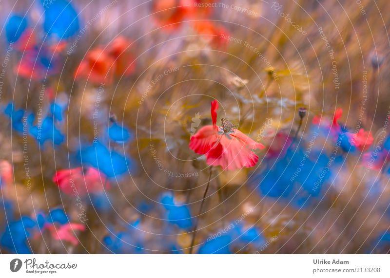 Mohn Impressionen Natur Pflanze blau Sommer Blume rot Erholung ruhig Blüte Wiese Garten Design Park Feld Dekoration & Verzierung Lebensfreude