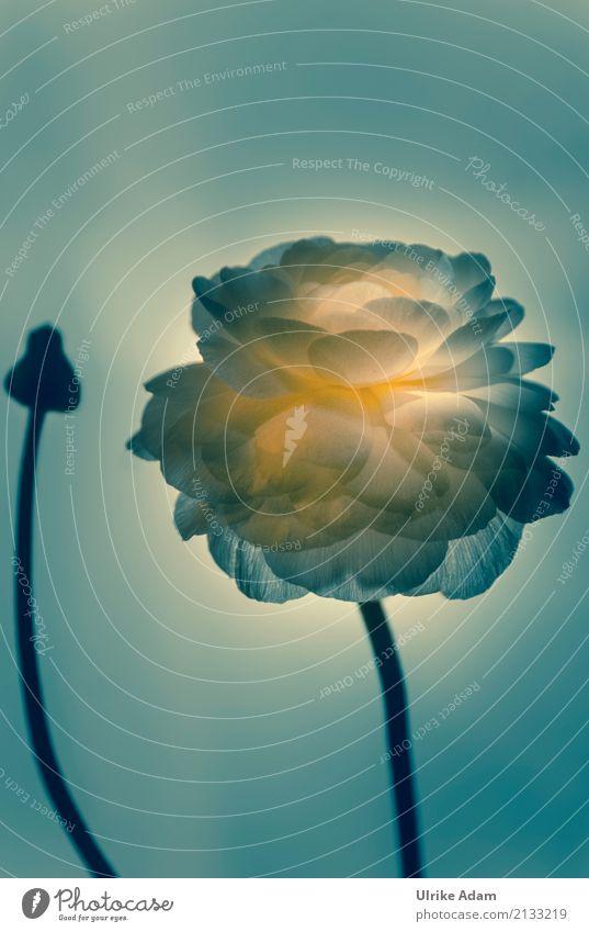 Rampenlicht Pflanze Blume Blüte Frühling Stil Kunst Design leuchten glänzend Dekoration & Verzierung elegant Trauer Show harmonisch Meditation Theaterschauspiel