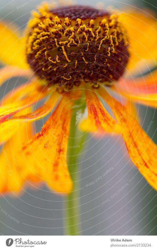 Sonnenbraut ( Helenium) Natur Pflanze Sommer Herbst Blume Blüte Sonnenblume Garten Park glänzend leuchten gelb orange Glück Warmherzigkeit Idylle Ulrike Adam