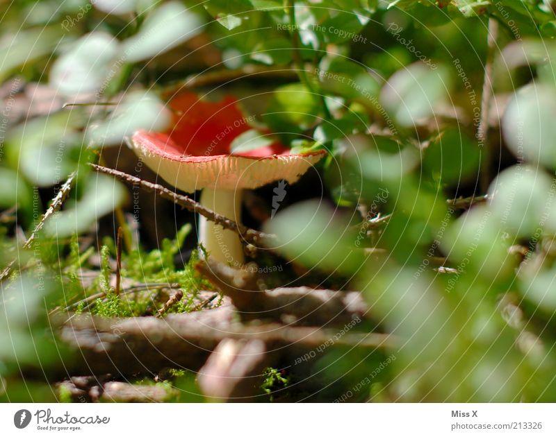 Im Wald Natur rot Herbst klein Lebensmittel Wachstum Sträucher verstecken Pilz Gift Waldboden Pilzhut Fliegenpilz