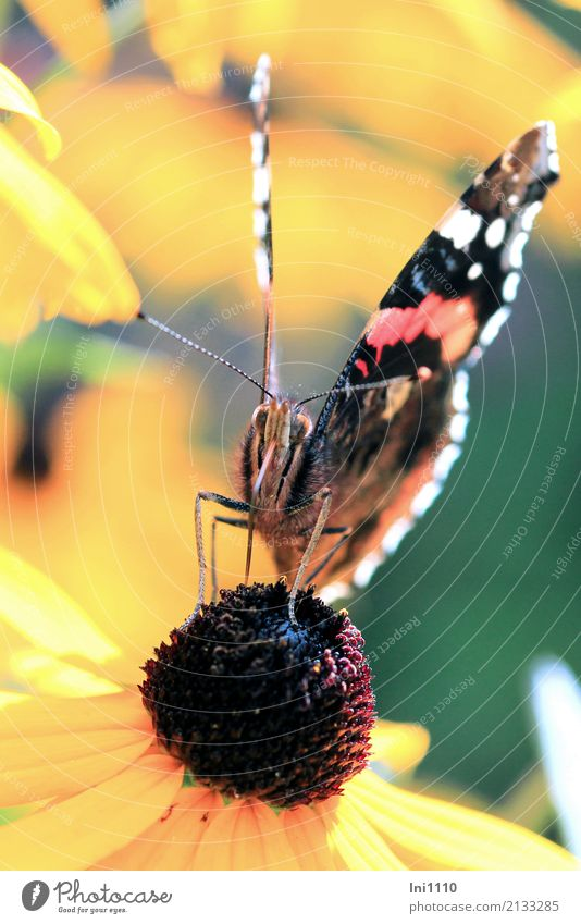 Admiral Natur Pflanze Tier Sonnenlicht Sommer Blume Blüte Sonnenhut Garten Park Wildtier Schmetterling 1 blau braun mehrfarbig gelb grün rot schwarz Fühler
