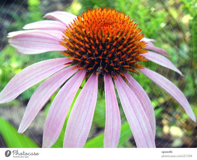 Blüte Blume