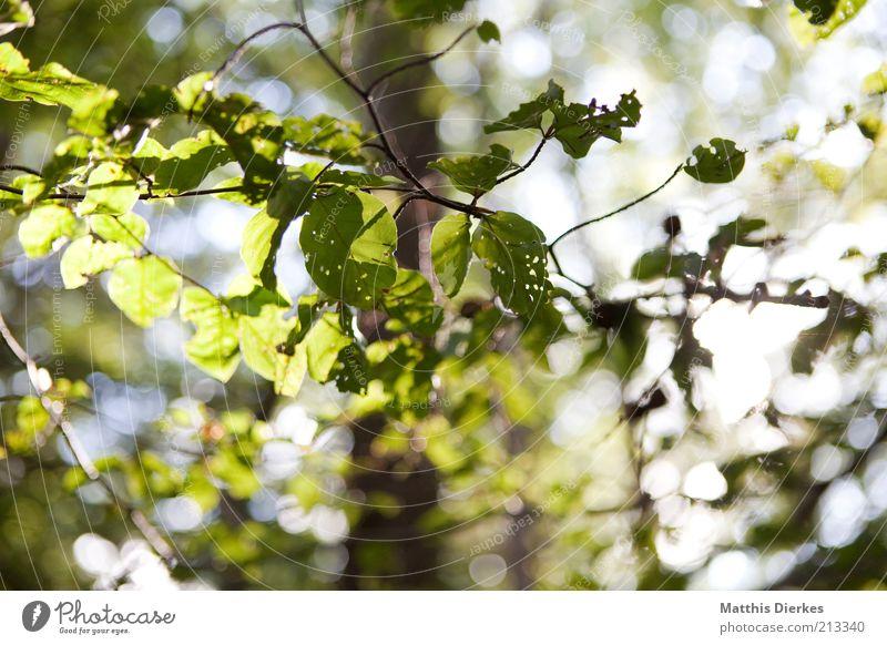 Letzter Sommertag Umwelt Natur Pflanze Herbst Wetter Schönes Wetter Baum Blatt ästhetisch grün Blätterdach Buche Farbfoto Nahaufnahme Detailaufnahme