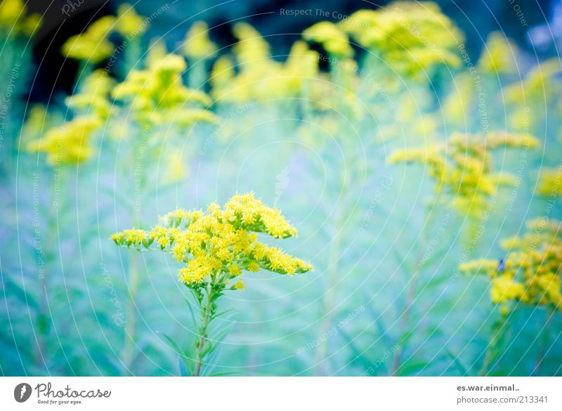 traumsequenz. Pflanze Sommer Blume gelb Umwelt Blüte Wachstum Blühend Duft Blumenwiese Bildausschnitt Jahreszeiten Wiesenblume
