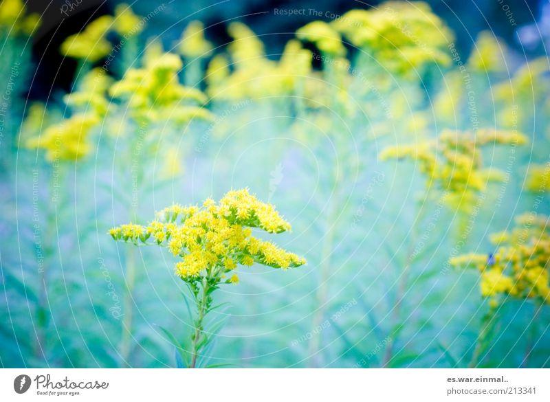 traumsequenz. Umwelt Pflanze Sommer Blüte Blühend Duft Wachstum Blume gelb Farbfoto Schwache Tiefenschärfe Blumenwiese Wiesenblume Detailaufnahme Bildausschnitt