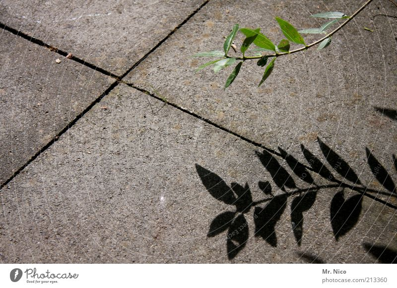 schattengewächs Natur grün Pflanze Blatt grau Wachstum trist Botanik Fuge Steinplatten Pflanzenteile Steinboden Betonboden Schattenpflanze