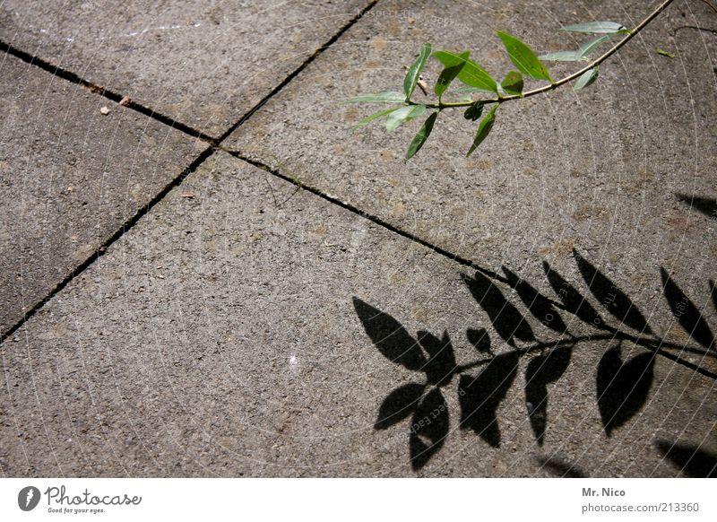 schattengewächs Pflanze Blatt grau grün Betonboden Steinplatten X Wachstum Pflanzenteile Botanik Schattenpflanze Natur trist Menschenleer Steinboden Fuge