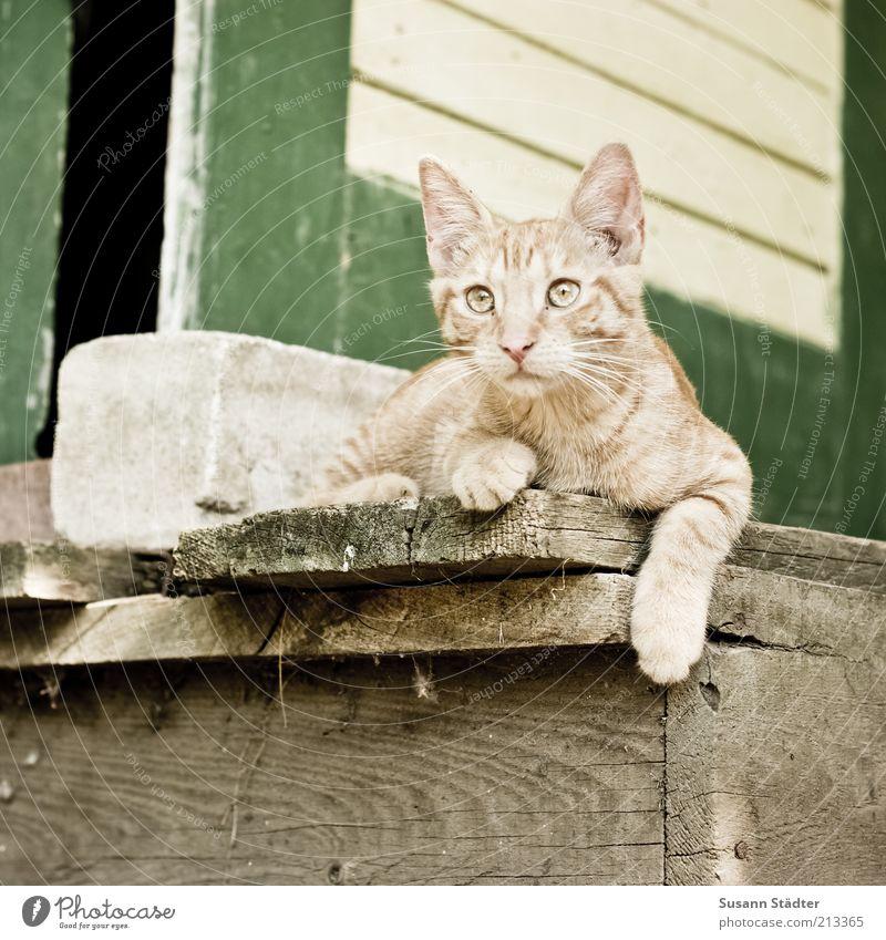 Wachhund Katze rot Tier Tierjunges Stein liegen beobachten Coolness Pause entdecken Wachsamkeit Jagd Haustier Tiergesicht lässig Holzfußboden