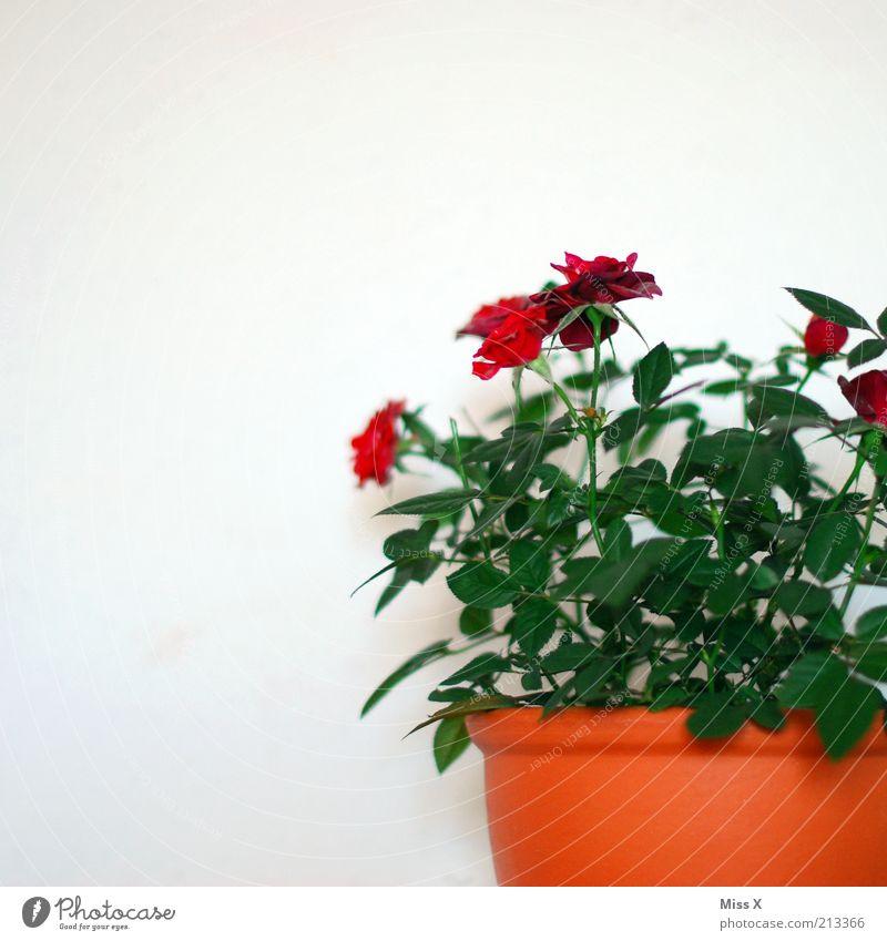 Wedding Day 1009 am 10.09 Rose Blatt Blüte Topfpflanze Blühend Duft Wachstum Sträucher Strauchrose Rosenblüte Muttertag Valentinstag Farbfoto mehrfarbig