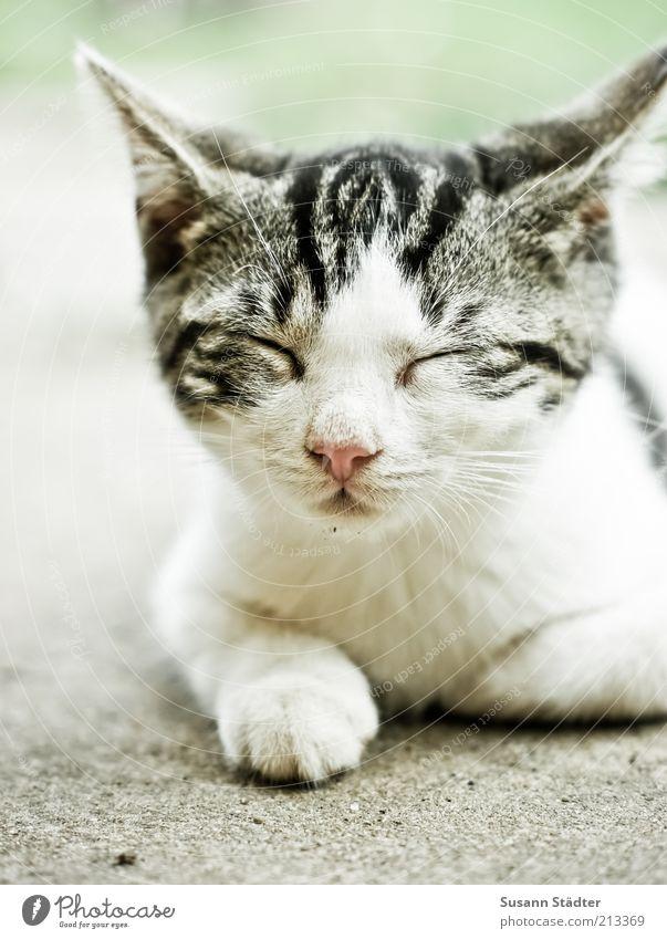 nur noch 5 Minuten! Tier Haustier Katze Tierjunges Denken schlafen Zufriedenheit Erholung Mittagsschlaf Siesta Pause liegen weiß Katzenbaby Ohr Farbfoto