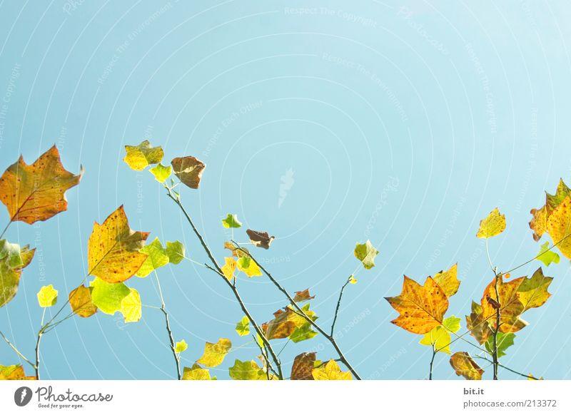 Frisch in den Herbst...(I) Umwelt Natur Landschaft Pflanze Himmel Wetter Wind Baum Blatt blau gelb Herbstlaub herbstlich Färbung Herbstfärbung Herbstwetter