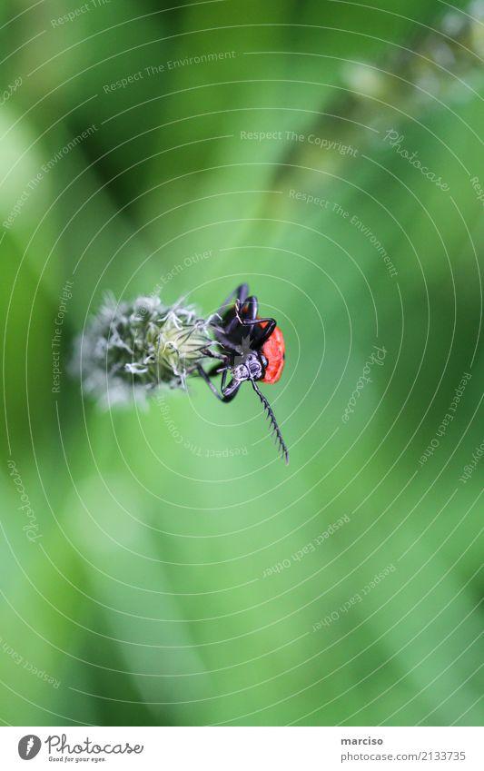 Frühlingskäfer Tier Käfer Insekt Lupe beobachten klein entdecken nachhaltig Natur Perspektive Umwelt Umweltschutz Farbfoto Außenaufnahme Nahaufnahme