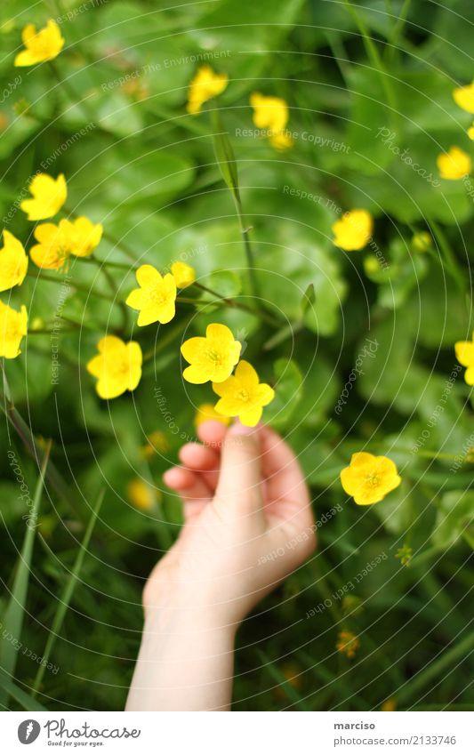 Butterblume Kind Hand Umwelt Natur Landschaft Pflanze Blume Gras Blüte Garten Park Wiese Stadtrand Duft entdecken gelb Frühlingsgefühle Vorsicht Farbe Kindheit