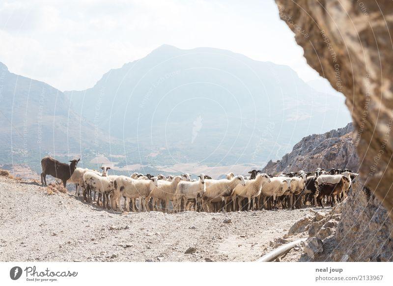 Schaf rechts abbiegen Landschaft Berge u. Gebirge sprechen Wege & Pfade Zusammensein Fröhlichkeit warten einzigartig beobachten Team Zusammenhalt Wachsamkeit