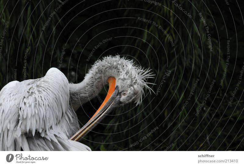 Putztag Tier Vogel lustig weich Feder Tiergesicht Reinigen Wildtier Körperpflege Schnabel zerzaust Pelikan Flaum drollig