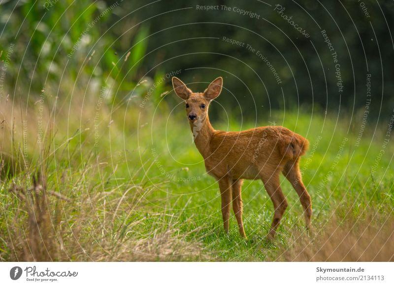 Glückliches Rehkind Umwelt Natur Pflanze Tier Wetter Schönes Wetter Gras Sträucher Wildpflanze Wiese Feld Wald Wildtier Tiergesicht Fell Rehkitz 1 frech frei