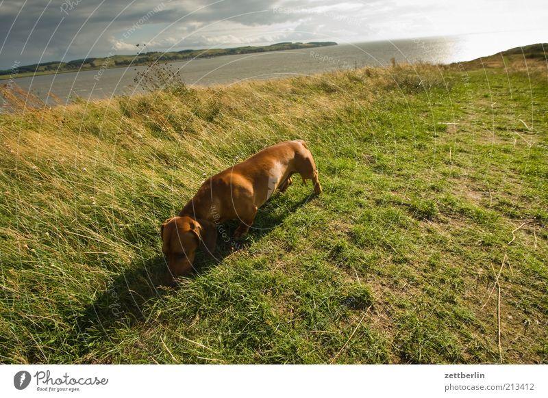 Fremder Dackel auf dem Schafberg Natur Wasser Himmel Meer Sommer Wiese Gras Berge u. Gebirge Hund Landschaft Küste Umwelt Suche Horizont Insel Hügel
