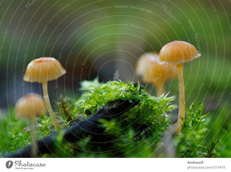 Winzlinge Natur Pflanze Erde Herbst gelb grün Umweltschutz Pilz Moos Moosteppich Waldboden winzig klein Farbfoto Außenaufnahme Nahaufnahme Makroaufnahme