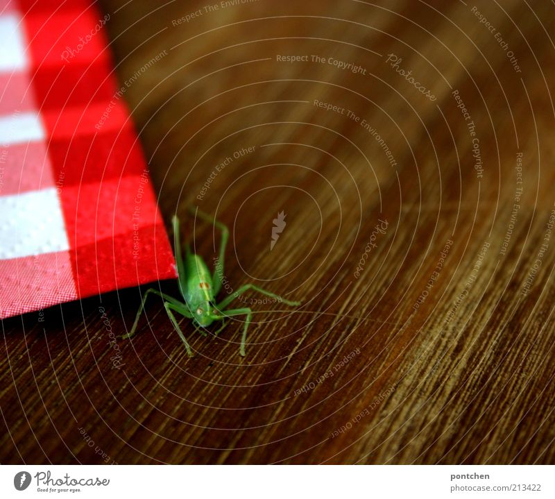 Eine Heuschrecke neben einer rot-weiß karierten Serviette auf einem Holztisch. Wildtier. Farbkontrast. Grün und rot Tier 1 braun grün Insekt Kontrast Beine