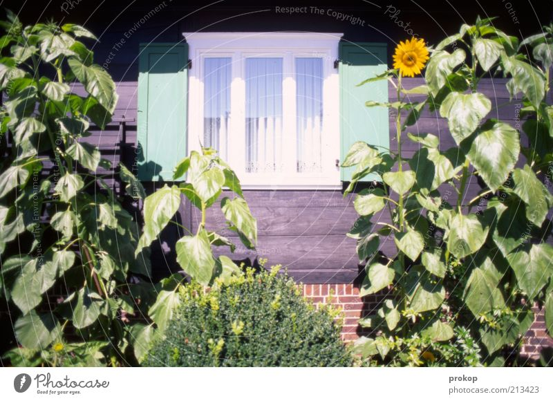 Üdülle Natur schön grün Pflanze Sommer Haus Fenster Garten Holz Zufriedenheit Umwelt frisch Sträucher Lebensfreude natürlich Sonnenblume