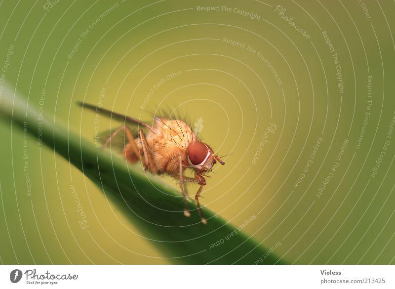 Yellow-Fly Tier Fliege Blick gelb Farbfoto Makroaufnahme Menschenleer 1 Tierporträt Ganzkörperaufnahme Auge Flügel sitzen Blatt Facettenauge bräunlich
