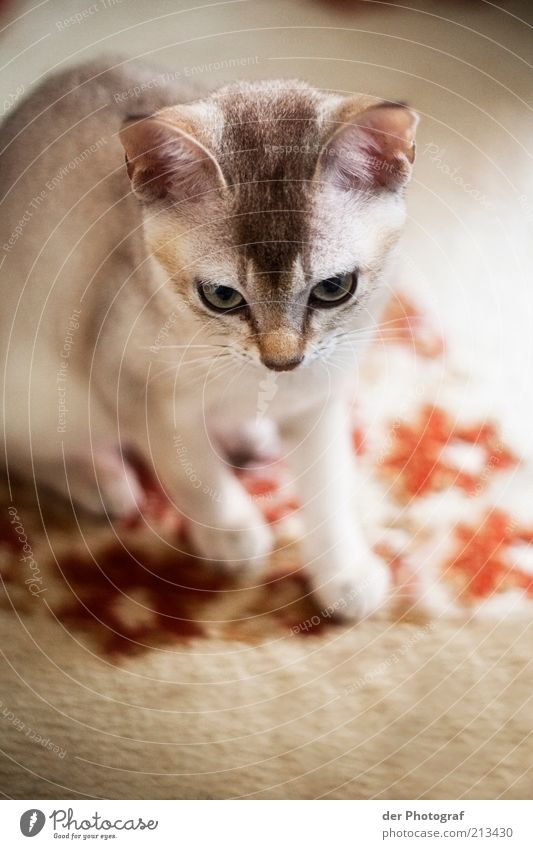 Jagdinstinkt weiß Tier Katze hell klein Tiergesicht Fell Neugier niedlich Jagd Haustier Teppich Schnurrhaar Tierjunges