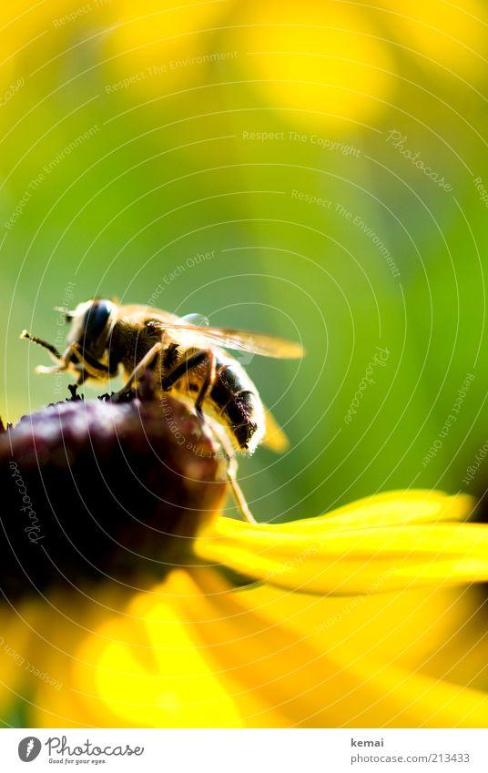 Blumenbesteigung Umwelt Natur Pflanze Tier Sonnenlicht Sommer Schönes Wetter Blüte Blütenblatt Wildtier Biene Flügel Insekt 1 gelb grün Schwebfliege Farbfoto