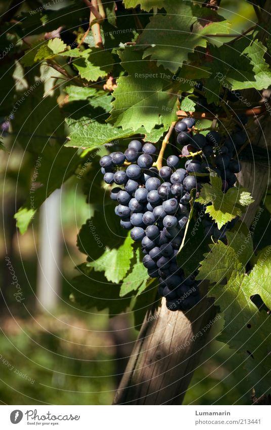 Auslese schön blau Pflanze Sommer Herbst Wärme Gesundheit Lebensmittel Umwelt Frucht frisch süß rund Wein einfach gut