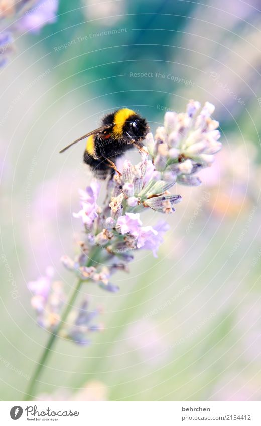 hummel hummel mors mors Natur Pflanze Tier Sommer Schönes Wetter Blume Blüte Lavendel Garten Park Wiese Wildtier Tiergesicht Flügel Hummel 1 Blühend Duft