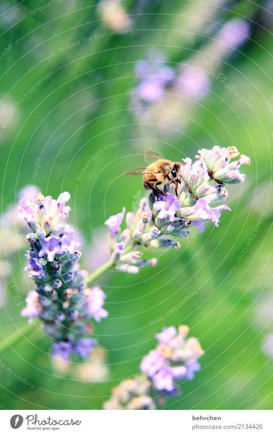 letzter sommertag... Natur Pflanze Tier Sommer Schönes Wetter Blume Blatt Blüte Lavendel Garten Park Wiese Wildtier Biene Tiergesicht Flügel Blühend Duft