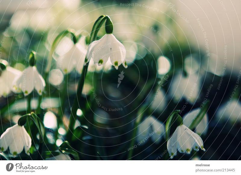 Frühlingsboten Umwelt Natur Pflanze Erde Blume Blüte Schneeglöckchen Blühend Wachstum grün weiß Farbfoto Gedeckte Farben Außenaufnahme Menschenleer