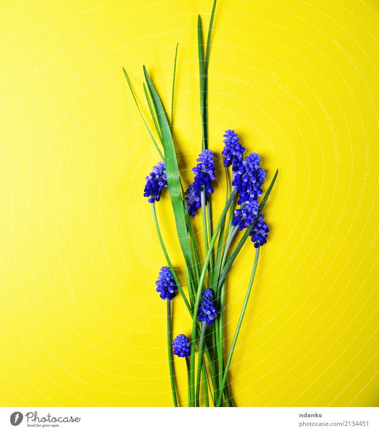 Gelber Hintergrund mit blauen Blumen schön Sommer Garten Dekoration & Verzierung Natur Pflanze Blatt Blüte Blumenstrauß frisch hell natürlich gelb grün