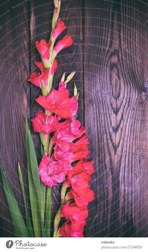Blumenstrauß aus roten Gladiolen Natur Pflanze Farbe grün Blatt Blüte natürlich Feste & Feiern braun frisch Blühend Hochzeit Postkarte
