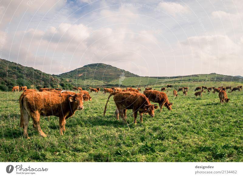 Kühe auf einer saftig grünen Wiese Himmel Natur Pflanze Landschaft Tier ruhig Umwelt Gras braun Feld Erde Hügel Landwirtschaft Gelassenheit Bioprodukte