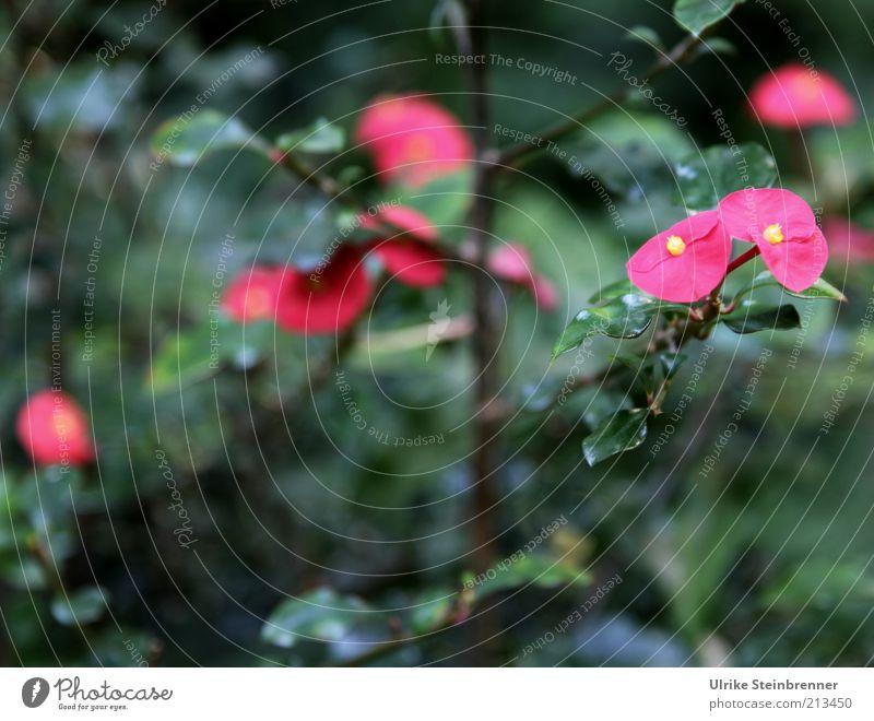 Pink auf Grün rosa violett Blüte Blütenblatt grün Pflanze Stengel Sträucher Farbe Blatt Wachstum Blühend Blume Kontrast Menschenleer Zweig Unschärfe