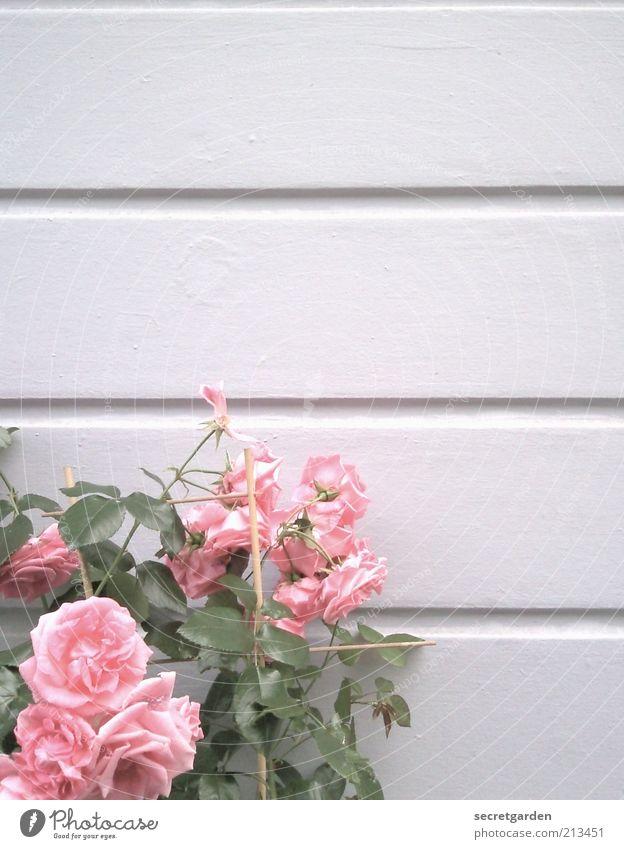 rosegarden. Pflanze Frühling Blume Rose Linie Duft schön rosa weiß Gefühle Vergänglichkeit Wachstum Wandel & Veränderung hell horizontal bleich Farbfoto