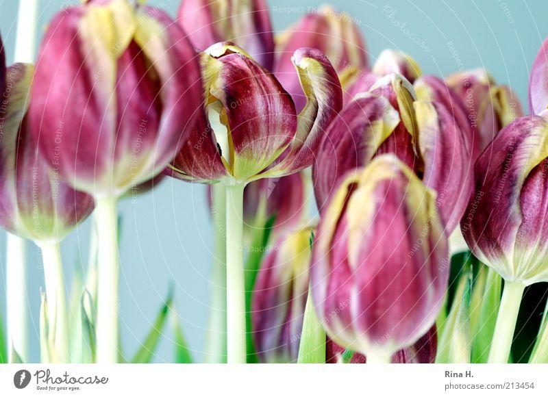 Dicht gedrängt schön Blume Frühling Blüte hell Kunst rosa mehrere ästhetisch Blühend Blumenstrauß Stillleben Tulpe Blütenblatt