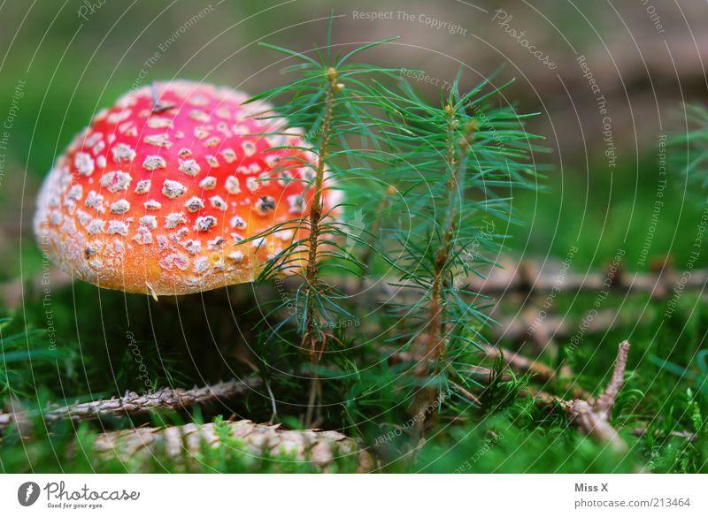 Ein Männlein Natur schön Baum rot Lebensmittel Herbst Gras Ausflug Wachstum gefährlich Rauschmittel Pilz Moos Gift Fichte Waldboden