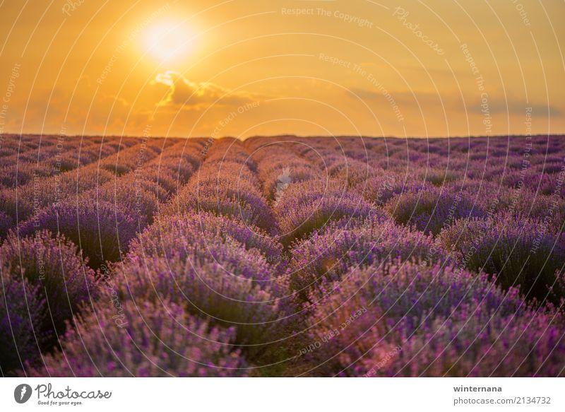 Lavendelfeld Umwelt Natur Landschaft Erde Himmel Wolken Sonne Sonnenaufgang Sonnenuntergang Sommer Feld mehrfarbig gelb gold violett Warmherzigkeit Zusammensein