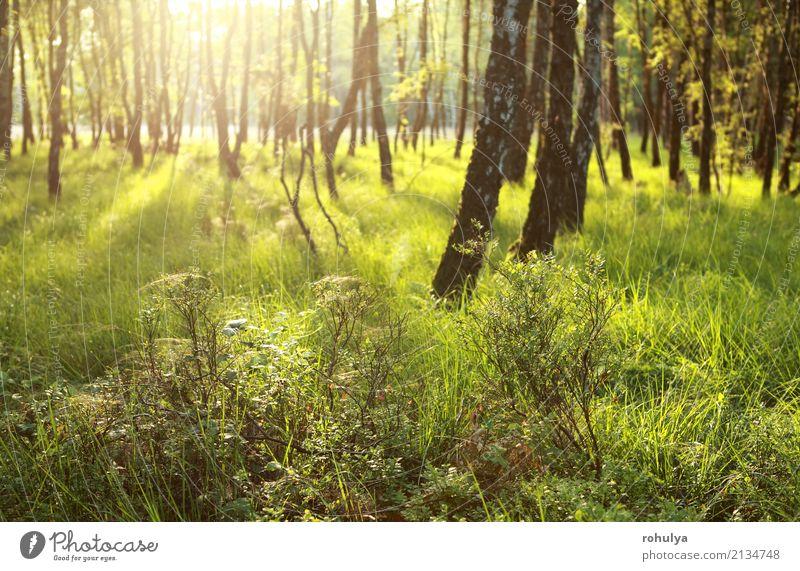 Morgen Sonnenlicht im grünen Wald Sommer Natur Landschaft Sonnenaufgang Sonnenuntergang Schönes Wetter Baum Gras Gelassenheit Birke sonnig Aussicht Belgien