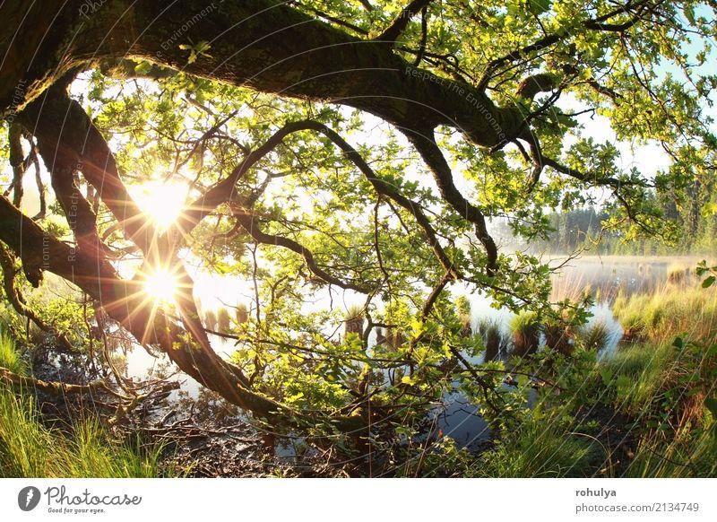 goldene Sonnenstrahlen durch Eichenäste und -blätter Sommer Natur Landschaft Sonnenaufgang Sonnenuntergang Sonnenlicht Frühling Schönes Wetter Nebel Baum Blatt