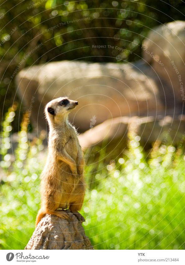 Big Brother is watching you Natur Pflanze Sommer Tier Gras Umwelt Sträucher beobachten Zoo Neugier Wildtier Kontrolle Schönes Wetter frech Hochmut