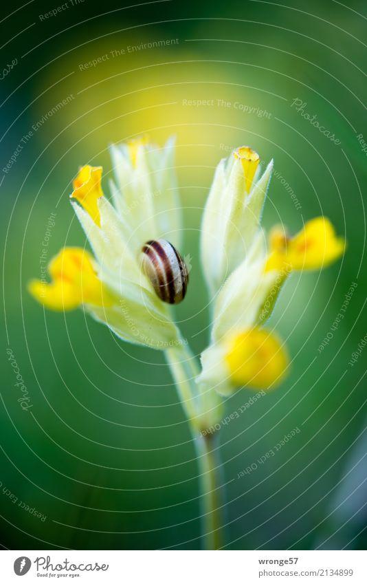 Blüte mit Schneckenhaus Natur Pflanze Tier Frühling Sommer Blume Wildtier 1 klein gelb grün natürlich Frühlingsblume Nahaufnahme Makroaufnahme Farbfoto