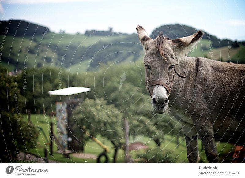 Der Esel auf dem Berg Natur grün Baum Sommer Tier Landschaft Berge u. Gebirge grau Gras Glück Park Zufriedenheit Fröhlichkeit beobachten Hügel Tiergesicht