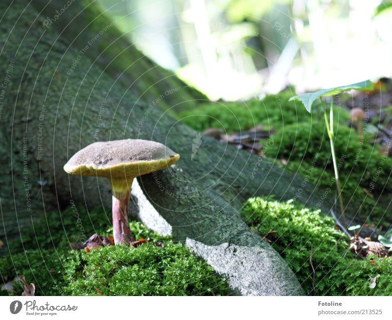 Pilzzeit Umwelt Natur Pflanze Urelemente Erde Baum Moos Wildpflanze Wald natürlich Pilzhut Wachstum Waldboden Farbfoto mehrfarbig Tag Licht Schatten Sonnenlicht