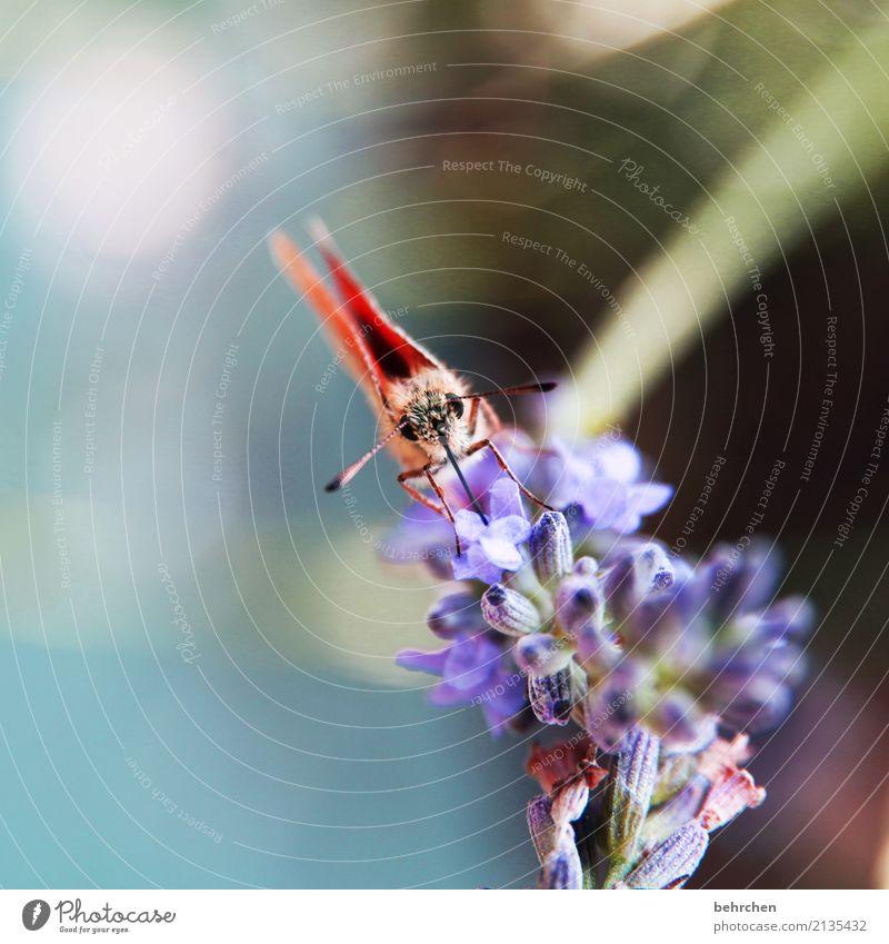 hipphipphurra - ein schmetterling:) Natur Pflanze Tier Sommer Schönes Wetter Blume Blüte Lavendel Garten Park Wiese Wildtier Schmetterling Tiergesicht Flügel