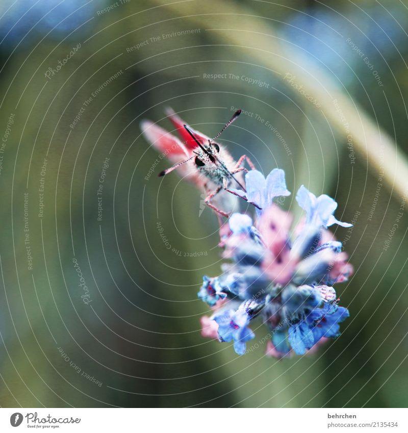 zart Natur Pflanze Tier Sommer Schönes Wetter Blume Blatt Blüte Lavendel Garten Park Wiese Wildtier Schmetterling Tiergesicht Flügel 1 Blühend Duft fliegen