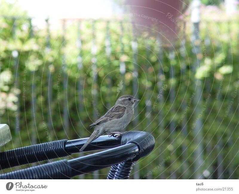 Spatz auf dem Stuhl Vogel Schnabel Tier Verkehr Natur Nahaufnahme Feder