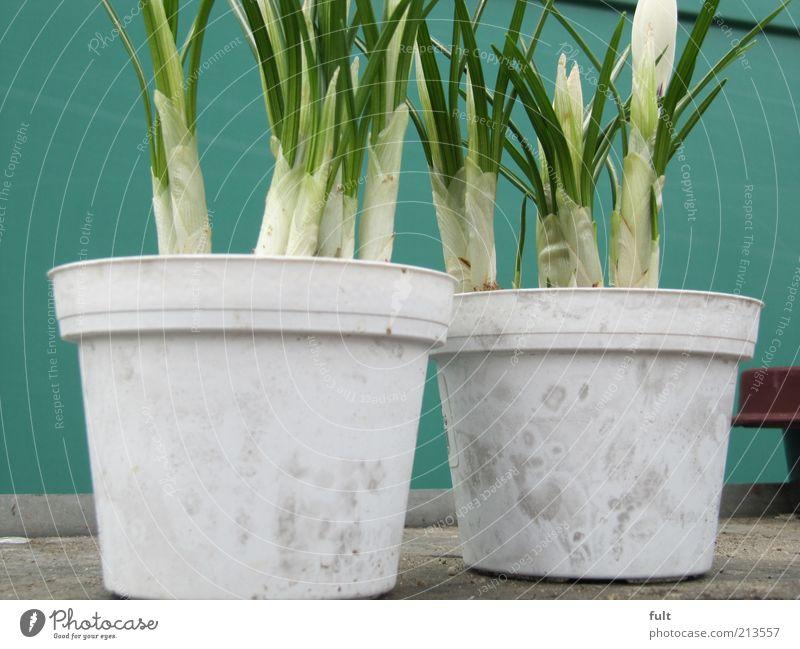 Blumentöpfe weiß grün Pflanze Frühling natürlich Duft Blumentopf Frühlingsblume Balkonpflanze